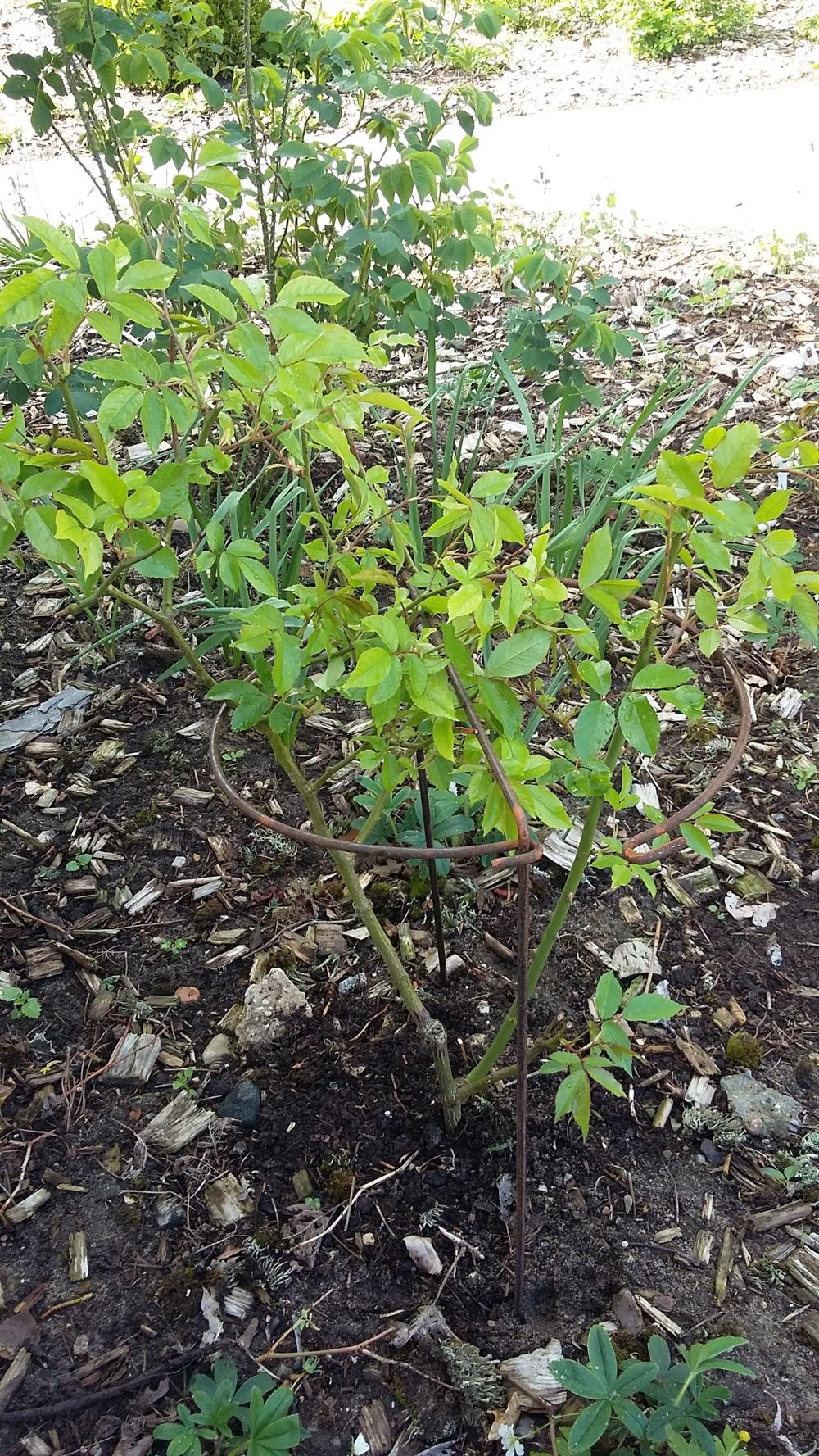 Holder til roser, stauder og bærbuske, medium, diameter 30 cm / højde 75 cm, 1 stk